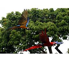 Macaws in Flight Photographic Print