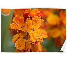 Macro Orange Flowers Poster