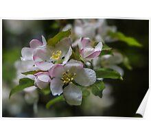 Macro White Blossom Tree Poster