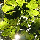 Horse chestnut sun by Bob Sagar