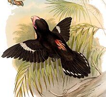 Dusky broadbill by marmur