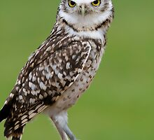 Burrowing Owl - (Athene cunicularia) by Robert Taylor