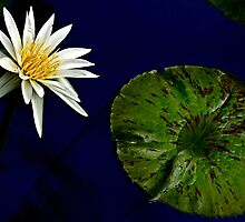 White Water Lily with Leaf by cclaude