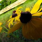 Black eyed susan at its best by Sarah Edmonds