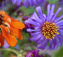 Orange Zinnia & Blue Aster -- Beautiful Fall Color by T.J. Martin