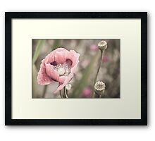 Pastel Poppy  Framed Print