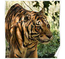 Serious Tiger Poster