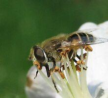 Honey Bee by branko stanic