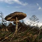 Parasol mushroom by photontrappist