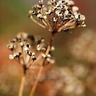 Autumn Allium by Tim Devine
