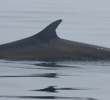 Finback Whale Pano by Stephen Stephen