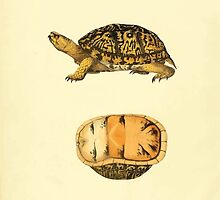 North American Herpetology A Desciption of the Reptiles Inhabiting the United States Chichowski John Edwards Holbrook 1840  0020 Turtle by wetdryvac