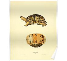 North American Herpetology A Desciption of the Reptiles Inhabiting the United States Chichowski John Edwards Holbrook 1840  0020 Turtle Poster