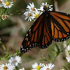 Monarch Miracle... by Poete100