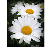 A Lovely Pair Of Shasta Daisies Photographic Print