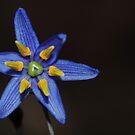 Macro on blue small flower by Jose M.F. Rebelo