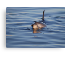 Dolphin dinner time Canvas Print