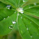 Dew Drops by Lady  Dezine