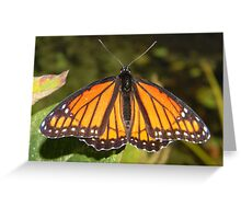 Monarch male basking in the sun. Greeting Card