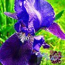 blue iris by LoreLeft27