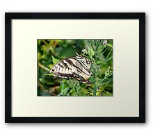 A male Eastern Tiger Swallowtail. Framed Print