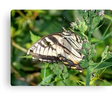 A male Eastern Tiger Swallowtail. Canvas Print