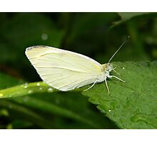 Cabbage white butterfly. Photographic Print