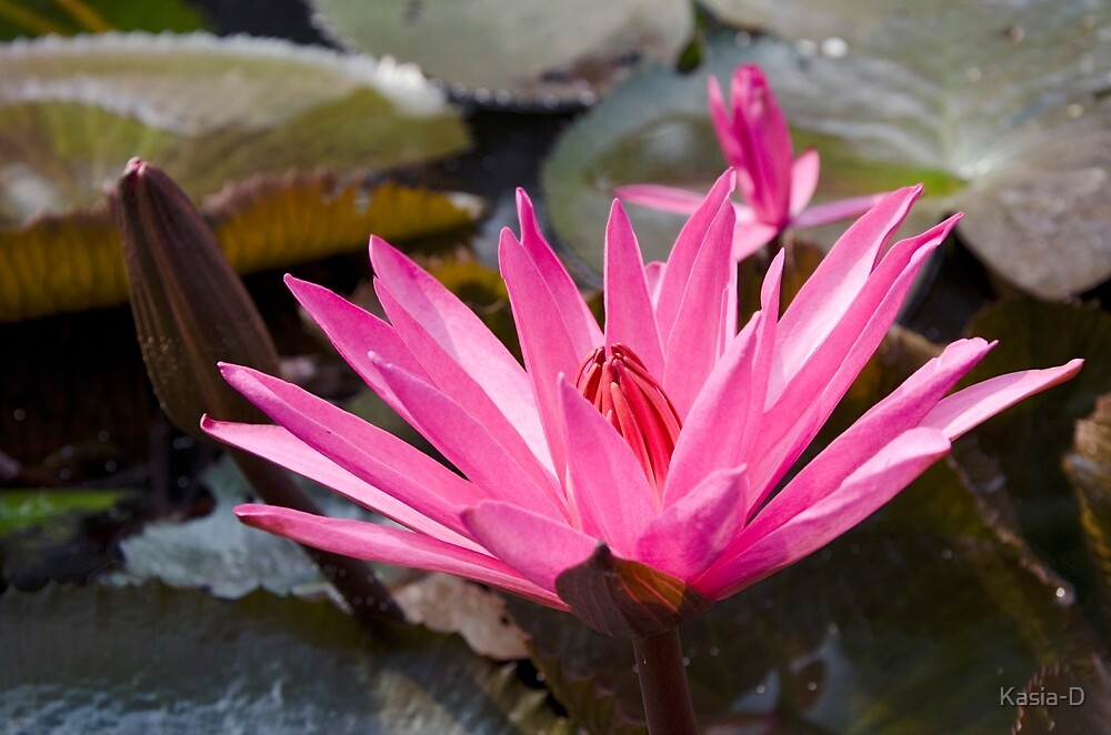 Water Lilies by Kasia-D
