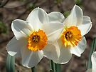 Daffodils. by William Brennan