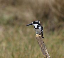 Pied Kingfisher (Ceryle Rudis) by Jim O'Rourke