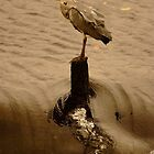 Heron on the weir by mikeloughlin