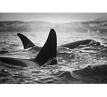 Orca Crossing - Tysfjord, Norway Photographic Print