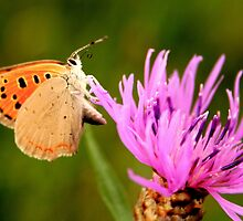 Small Copper Butterfly by Jo Nijenhuis