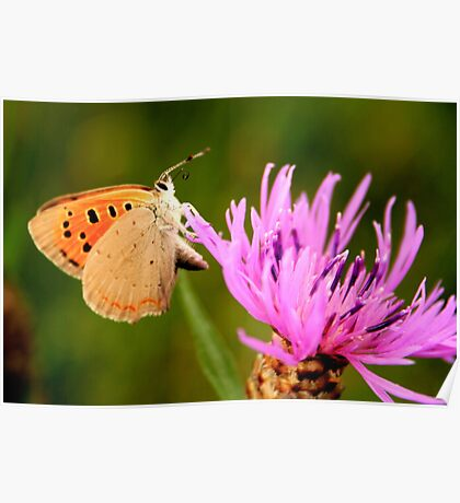 Small Copper Butterfly Poster
