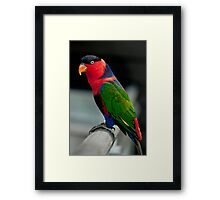 Black Capped Lory Framed Print
