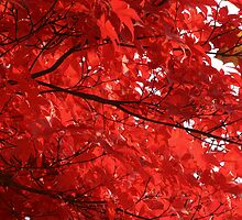 Japanese Maple 02 (Fall 2007) by Andrew Seymour