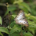 White Peacock Butterfly by Gail Falcon