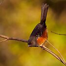 FEMALE SPOTTED TOWHEE by Sandy Stewart