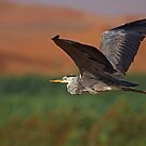 Desert Marsh Heron  by David Clark
