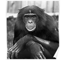 Bonobo at Twycross Zoo Poster