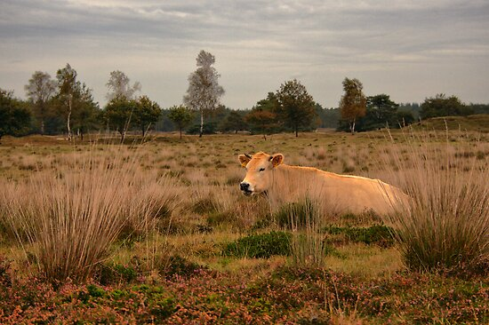 Its a Cow by Jo Nijenhuis