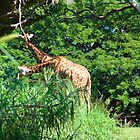 Giraffes Eating by lincolngraham