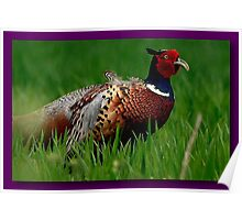 A Cocky Pheasant  Poster