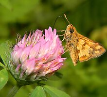 A TINY male Fiery Skipper. by William Brennan