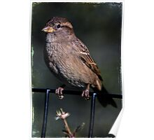 Portrait of a Common Sparrow Poster