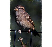 Portrait of a Common Sparrow Photographic Print