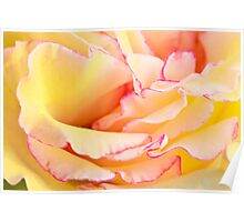 Yellow and Pink Rose Poster