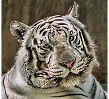 (Not So) White Tiger Photographic Print