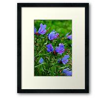 Viper Bugloss Framed Print