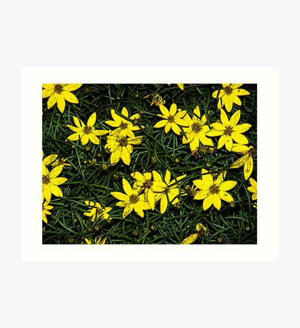 Patch of coreopsis flowers Art Print
